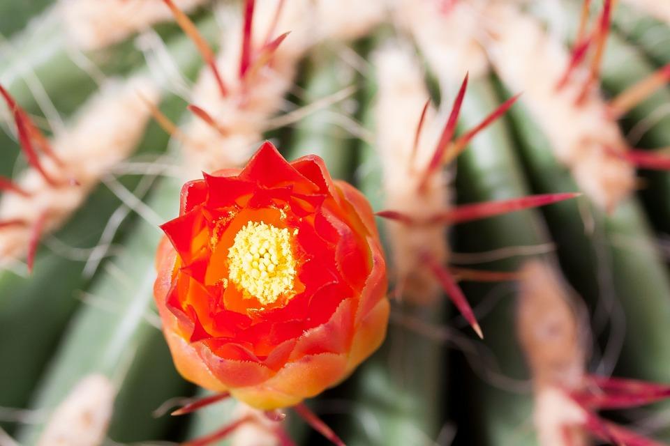 cactus-789416_960_720